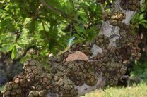 Calotes sp.