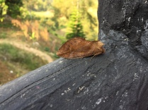 A moth that looks like a leaf