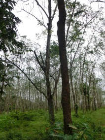 Rubber Plantation plus cryptic Draco sp.