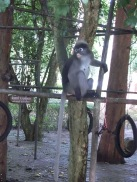 Spectacled Langur (Trachypithecus obscurus)